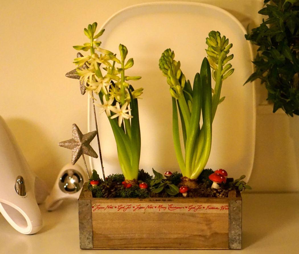 hyacint julgrupp