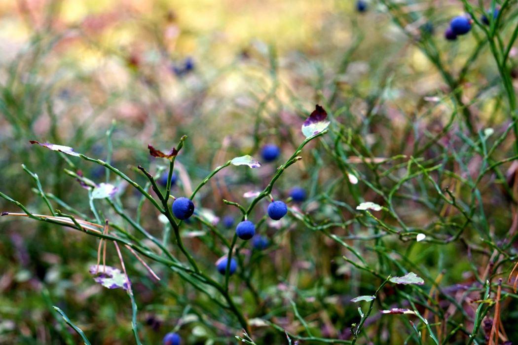 skogen blåbär 6