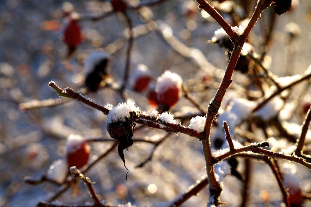 nypon vinterland