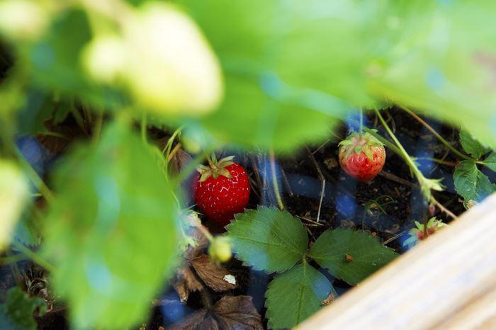 tradgarden-forsta-jordgubben
