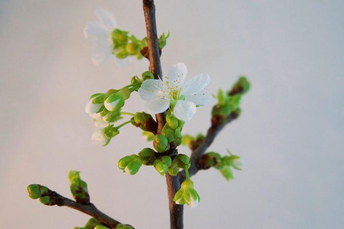 Gren av ett körsbärsträd