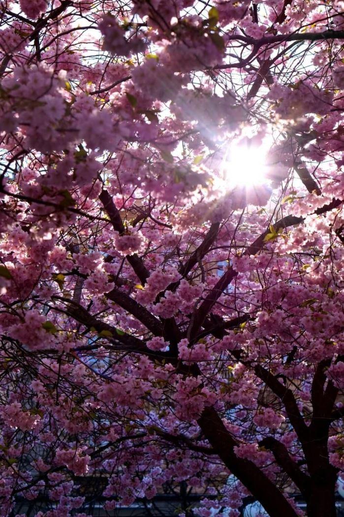 Körsbarsträden i Kungsträdgården