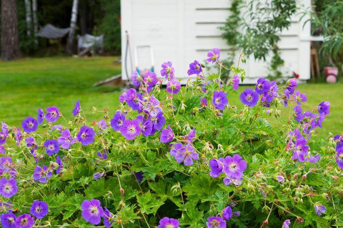 Hängsälj och blommor i trädgården