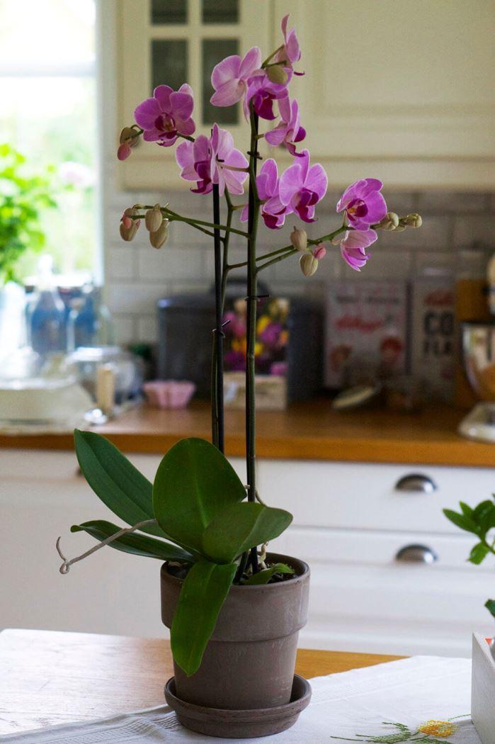 orkidé i köket