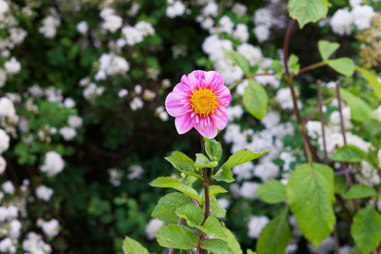 Dahlia i trädgården