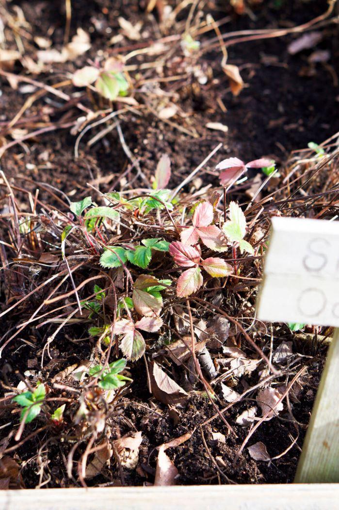 Trädgårdsfix jordgubbsplantor