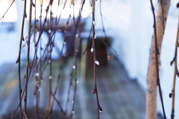 Vårkänslor med knoppar i busken